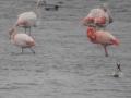 005 Caraïbische Flamingo (r) en Grote Flamingo's (l)