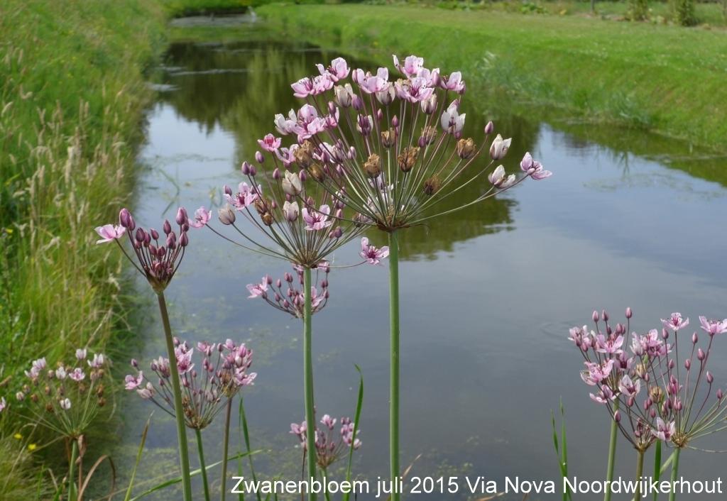 Zwanenbloem juli 2015 Via Nova Noordwijkerhout