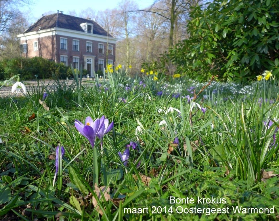 Bonte krokus maart 2014 Oostergeest Warmond