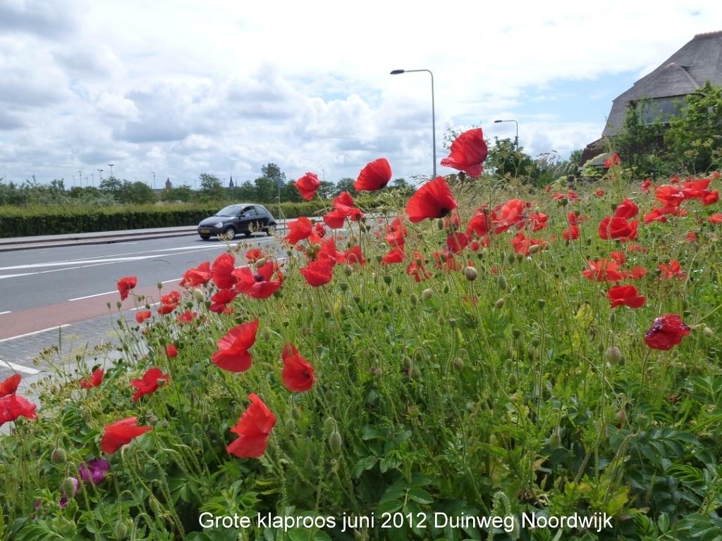Grote klaproos juni 2012 Duinweg Noordwijk