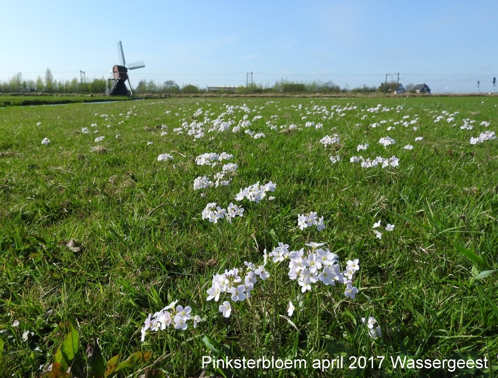 Pinksterbloem april 2017 Wassergeest