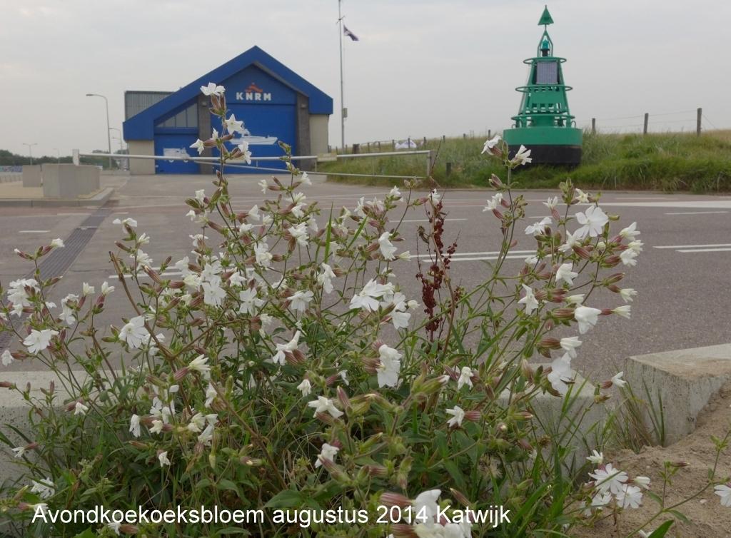 Avondkoekoeksbloem augustus 2014 Katwijk