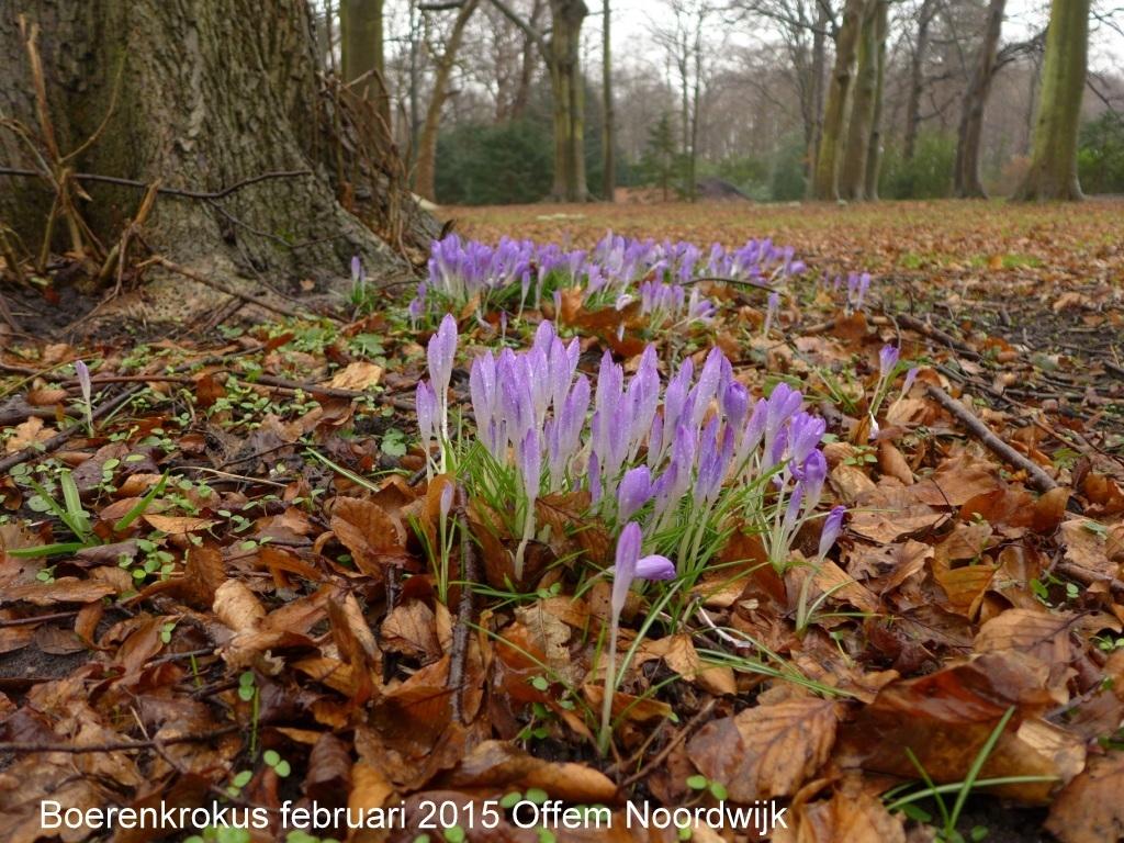 Boerenkrokus februari 2015 Offem Noordwijk