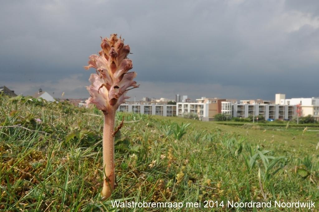 Walstrobremraap mei 2014 Noordrand Noordwijk