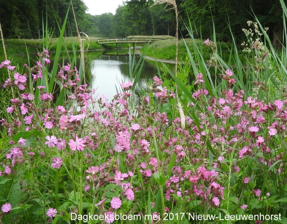 Dagkoeksbloem mei 2017 Nieuw-Leeuwenhorst