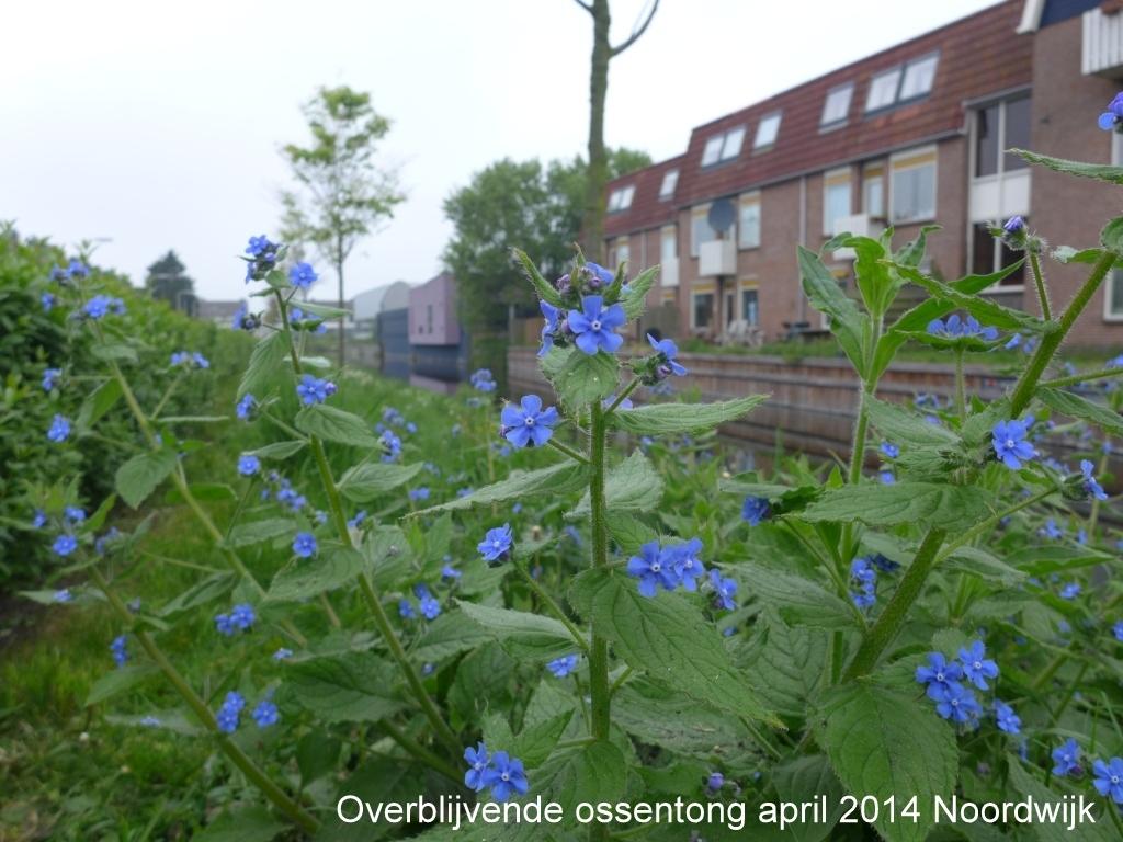 Overblijvende ossentong april 2014 Noordwijk