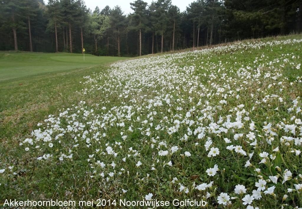 Akkerhoornbloem mei 2014 Noordwijkse Golfclub