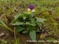 038 driekleurig viooltje Offem-Zuid