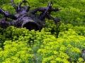 023 DSC00364 Cipreswolfsmelk, Vogelenveld.