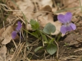 Bleeksporig bos- X Ruig viooltje