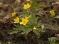 IMG_3775 Gele anemoon