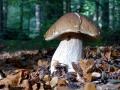 025 DSC06380 Gewone Eekhoorntjesbrood, Engelse Bos.