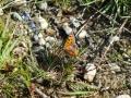 018 kleine vuurvlinder Starrenbroek