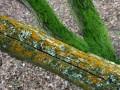 26-DSC06327-Gele-mossen-Gewoon-Schildmos-Schoollaantje.