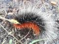 Rups Grote beervlinder