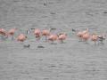 002 Chileense Flamingo's ; rechts onvolwassen Grote Flamingo