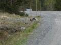 12-sneeuwhaas-Storlien-P1000502-2