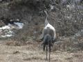 19-kraanvogel-IMG_3938