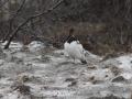 20-moeras-sneeuwhoen-IMG_3851