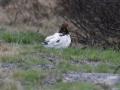 22-moerassneeuwhoen-vrouwtje-IMG_3883
