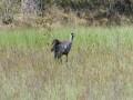 4-kraanvogel-van-nest-fouragerend-P1000157-2