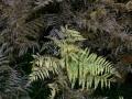 27-DSC04411-Adelaarsvaren-Engelse-bos.