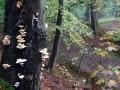 022-DSC04506-Porseleinzwam-Engelse-bos.