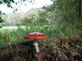 11-DSC04336-Vliegenzwam-Engelse-bos.