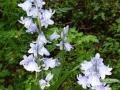 Wilde hyacint 2