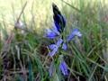 DSC08527 Gewone Vleugeltjesbloem, Stirumvallei.
