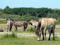 02-DSC00135-Konikpaarden-in-verdroogde-middenplas.