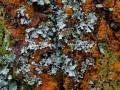 16-DSC05749-Oranje-boomschors-mos-Gebogen-schildmos-Eiland-van-Rolvers.