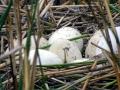 015 DSC08492 Eieren van Knobbelzwaan.
