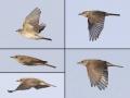 Grauwe Vliegenvanger_5 luik