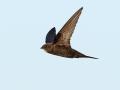 Gierzwaluw_12