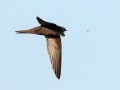 Gierzwaluw_8_met vlieg