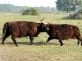 03-DSC09386-Schotse-Hooglanders.
