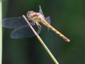 22-DSC02590-Bruine-heidelibel.