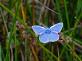 DSC05778 Blauwtje.