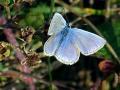 09-DSC03383-Icarusblauwtje.