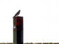 23-DSC03364-Torenvalk-op-paal-250-Coepelduynen.