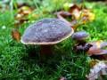 08-DSC04492-Fluweelboleet-Engelse-bos.
