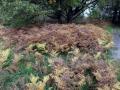 17-DSC04410-Adelaarsvaren-Engelse-bos.