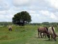 30-DSC01674-Konikpaarden.
