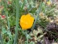 548A5999 IMG_0857a Gele Hoornpapaver